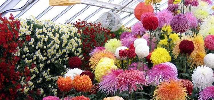 Chrysanthemums Show 2019 In Chandigarh