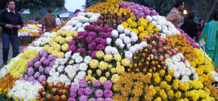 Chrysanthemums Show 2019 in Chandigarh by Terraced Garden
