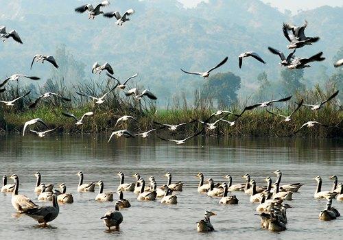 Harike Wetlands, Amritsar